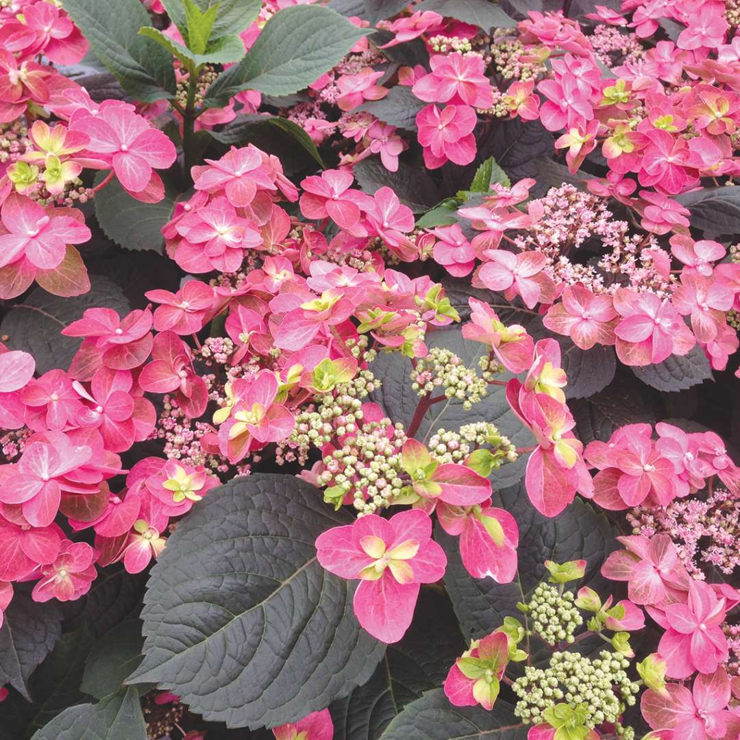 Many deep pink red flowers on Tuff Stuff Red mountain hydrangea