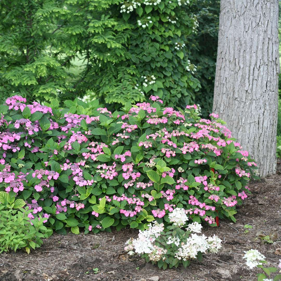 Two specimens of Tuff Stuff Red mountain hydrangea blooming in the landscape near a tree