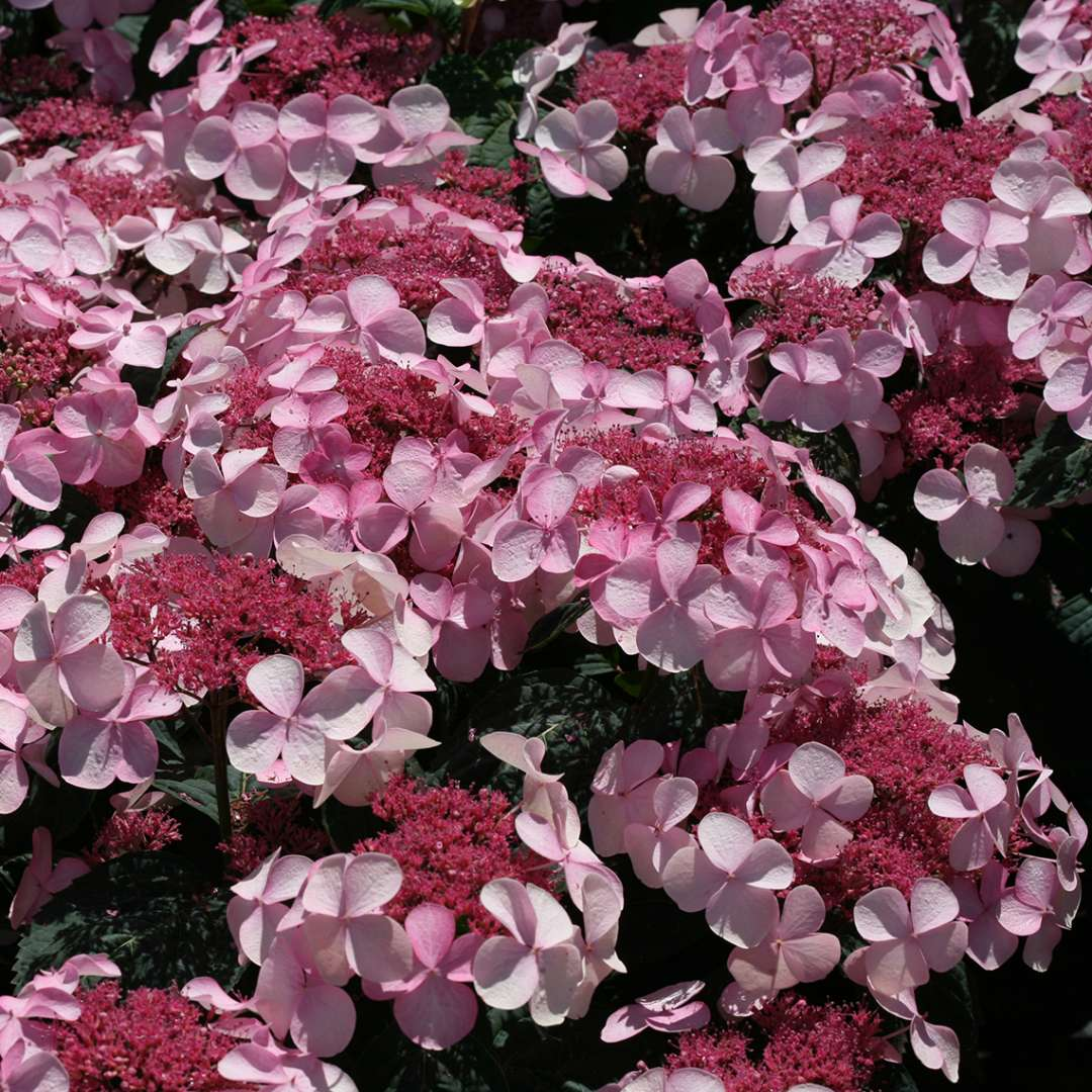 Many pink lacecap flowers on Twirligig mountain hydrangea