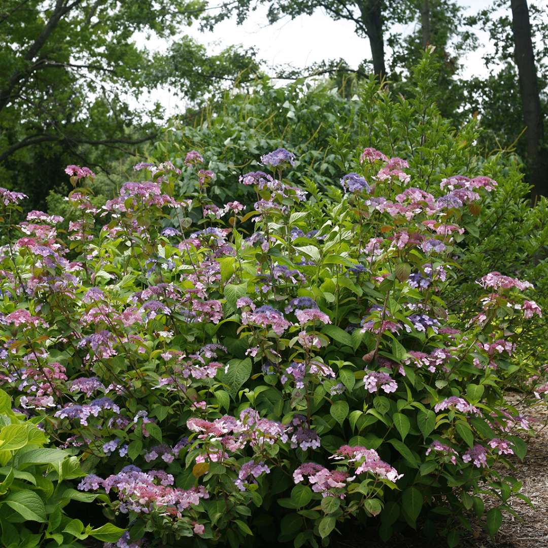 A specimen of Twirligig mountain hydrangea blooming in a landscape with both pink and blue flowers