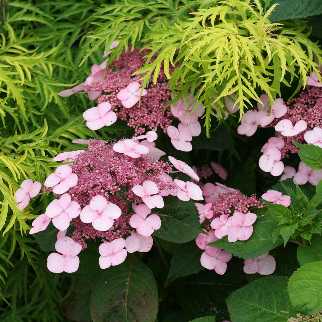 Closeup of four blooms on Twirligig mountain hydrangea growing in front of a lace leaf yellow elderberry