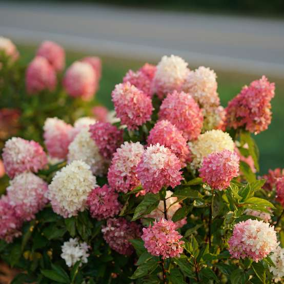 The pink and white mophead flowers of Zinfin Doll panicle hydrangea