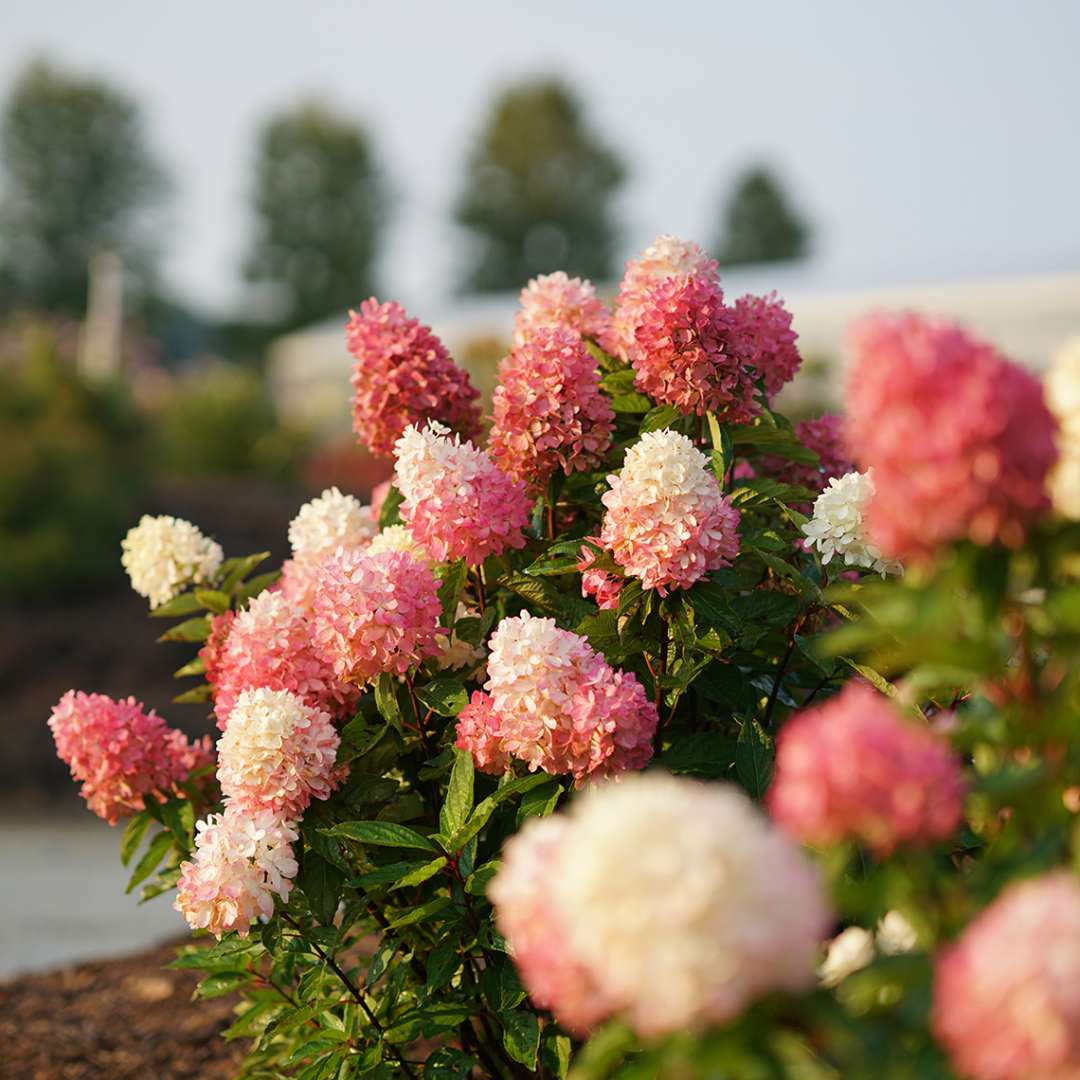 Several pink and white flowers atop Zinfin Doll panicle hydrangea