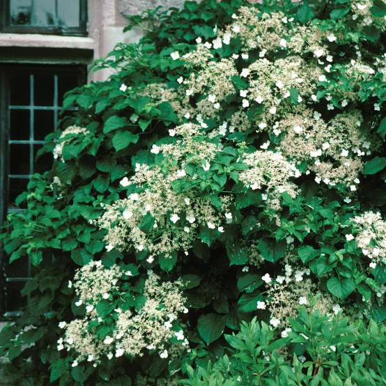 Climbing hydrangea vine growing on a building and quite covered in white lacecap blooms