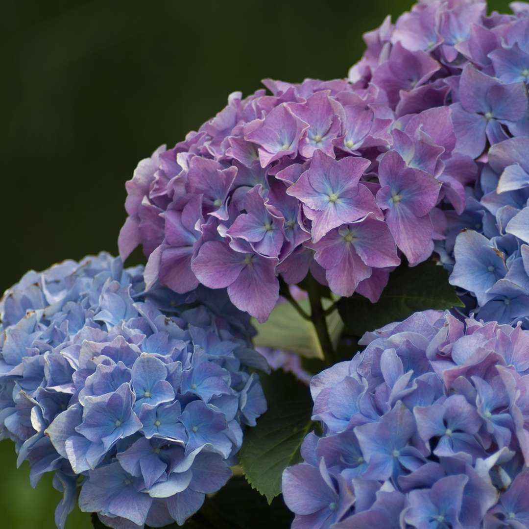 Group of blue and pink Cityline Rio hydrangea blooms