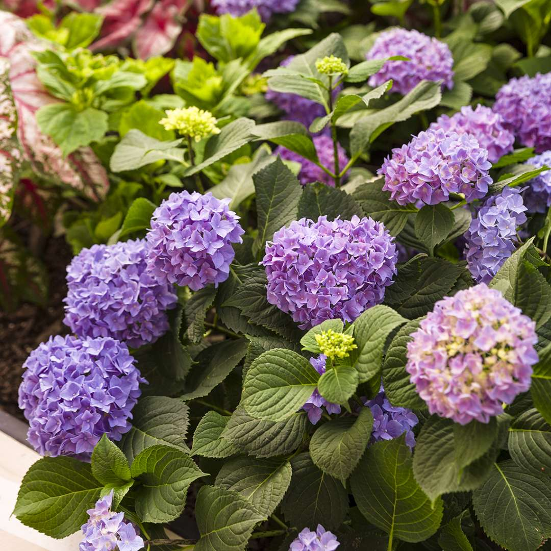 Let's Dance Rhythmic Blue hydrangea in landscape