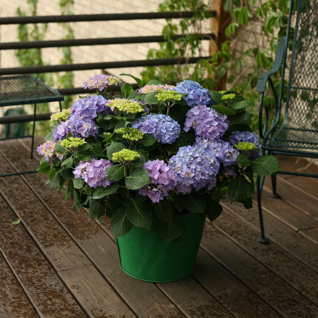 Let's Dance Rhythmic Blue hydrangea in green decorative container on wooden deck