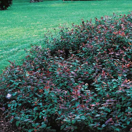 Albury Purple hypericum growing in a bed showing its low habit and purple foliage