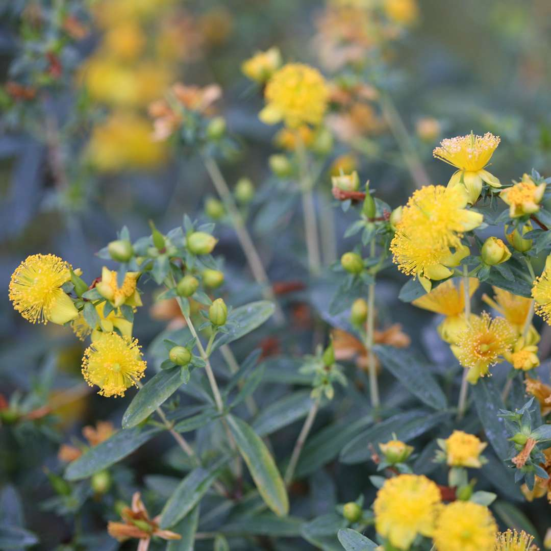Closeup of the yellow puffball flowers of Blues Festival hypericum contrasting with the narrow blue leaves