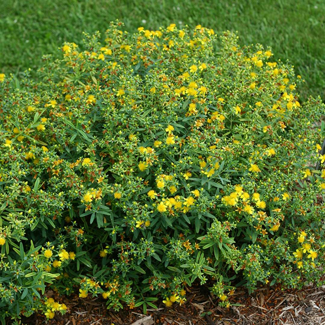 A specimen of Blues Festival hypericum showing its habit and yellow blooms