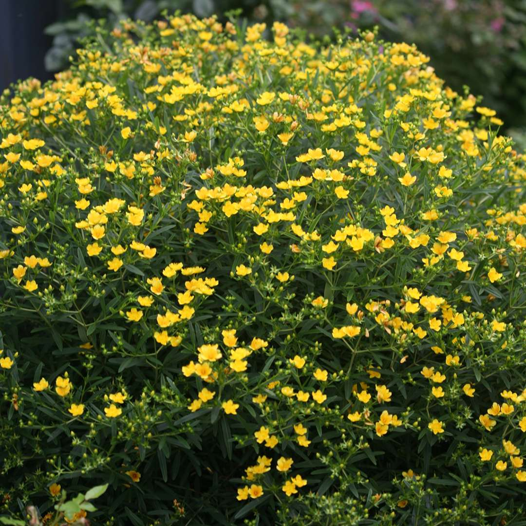 Sunny Boulevard hypericum in the landscape covered with yellow flowers and showing its rounded habit