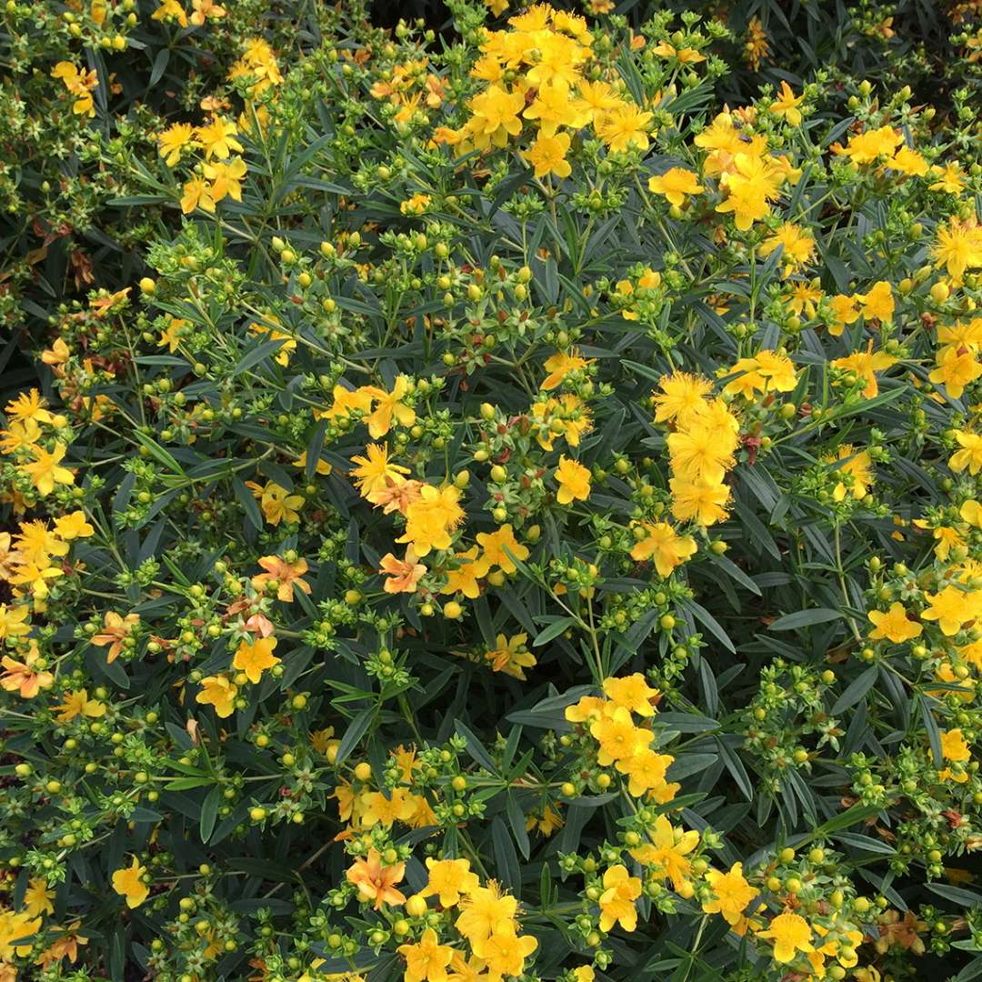 The yellow sunburst flowers of Sunny Boulevard hypericum