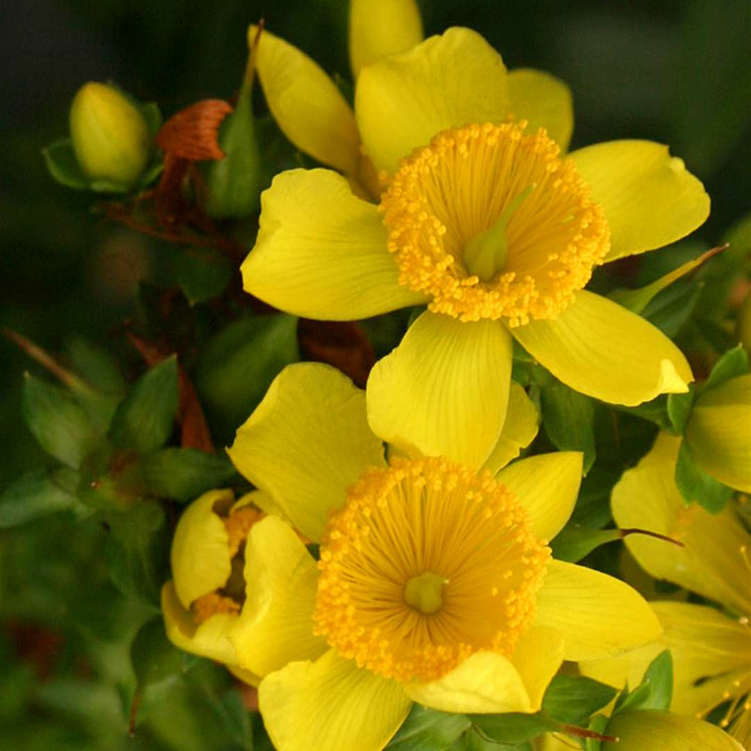 Closeup of the yellow sunburst flowers of Sunny Boulevard hypericum