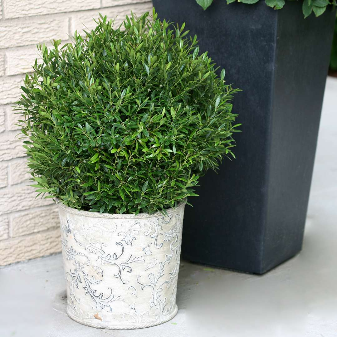 Round Gem Box Ilex glabra in decorative container