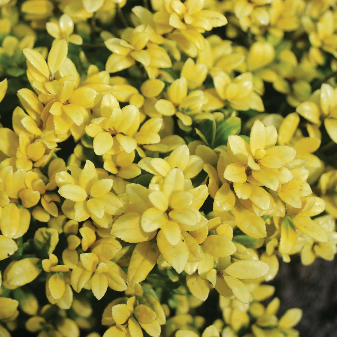 Close u pof fiely textured yellow Brass Buckle Ilex crenata foliage