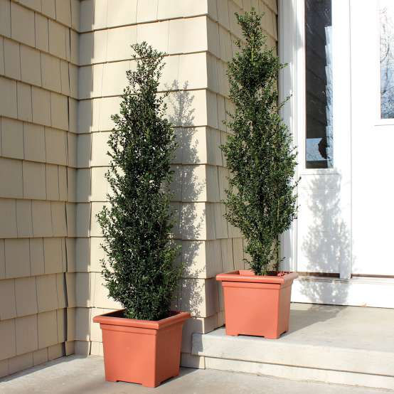 Pair of Patti O Ilex crenata in terra cotta planters on front porch