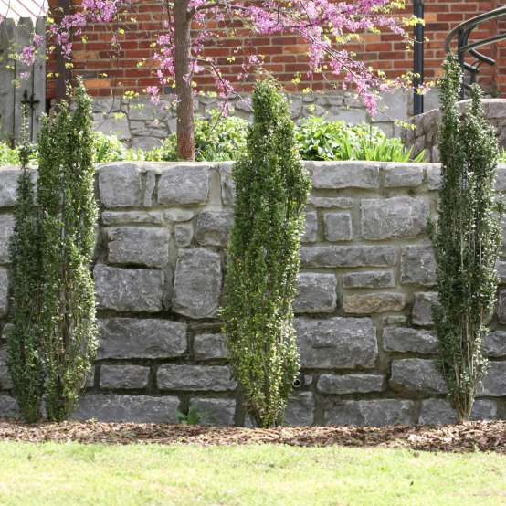 Trio of very narrow Sky Pencil Ilex crenata planted in front of a stone wall
