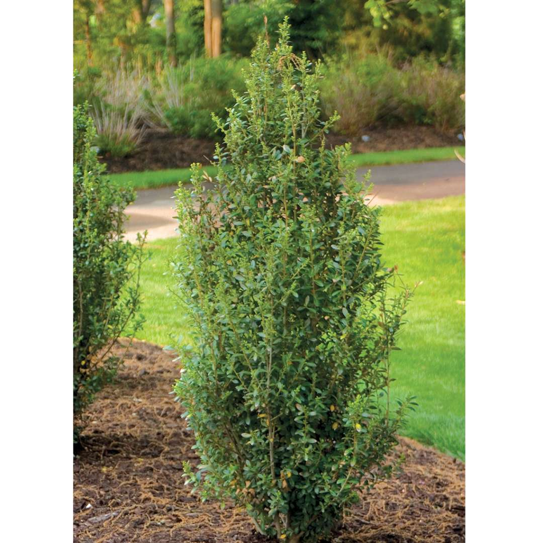 Tall and narrow Sky Box Ilex crenata in landscape