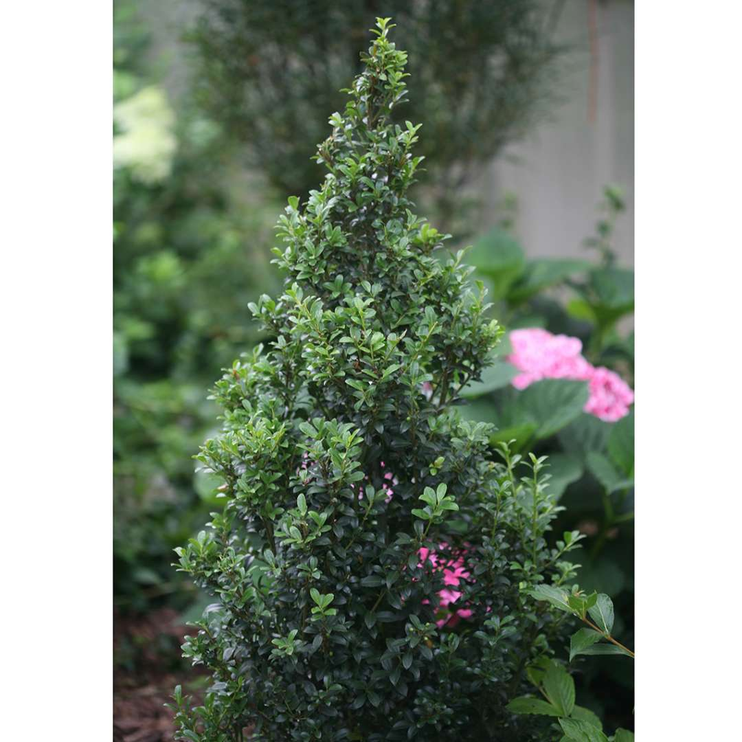 Dark evergreen Sky Box Ilex crenata in garden