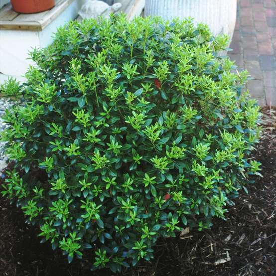 Glossy globe of Ilex glabra Compacta in mulched residential garden bed
