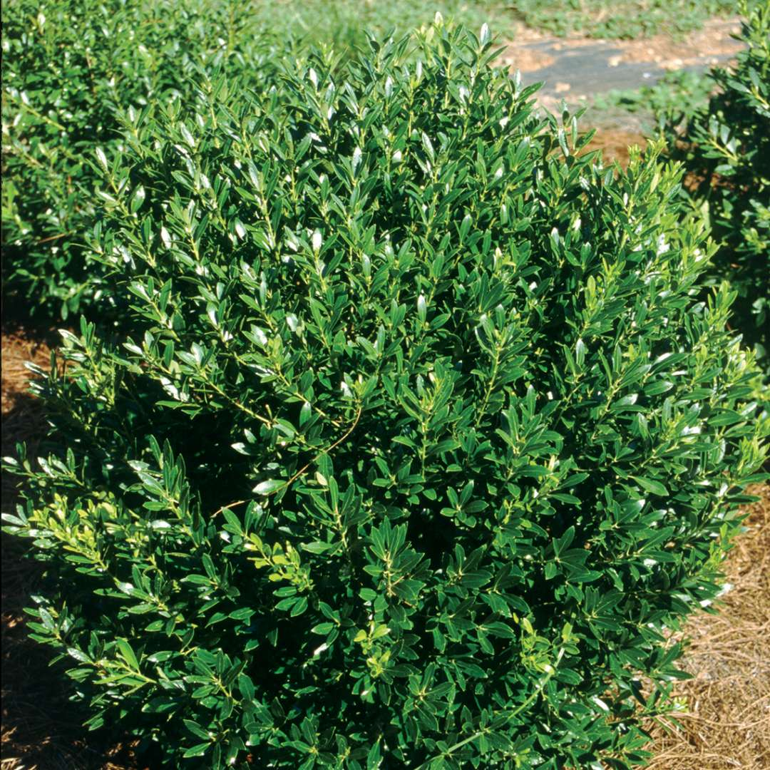 Bright glozzy evergreen Ilex glabra Shamrock in field