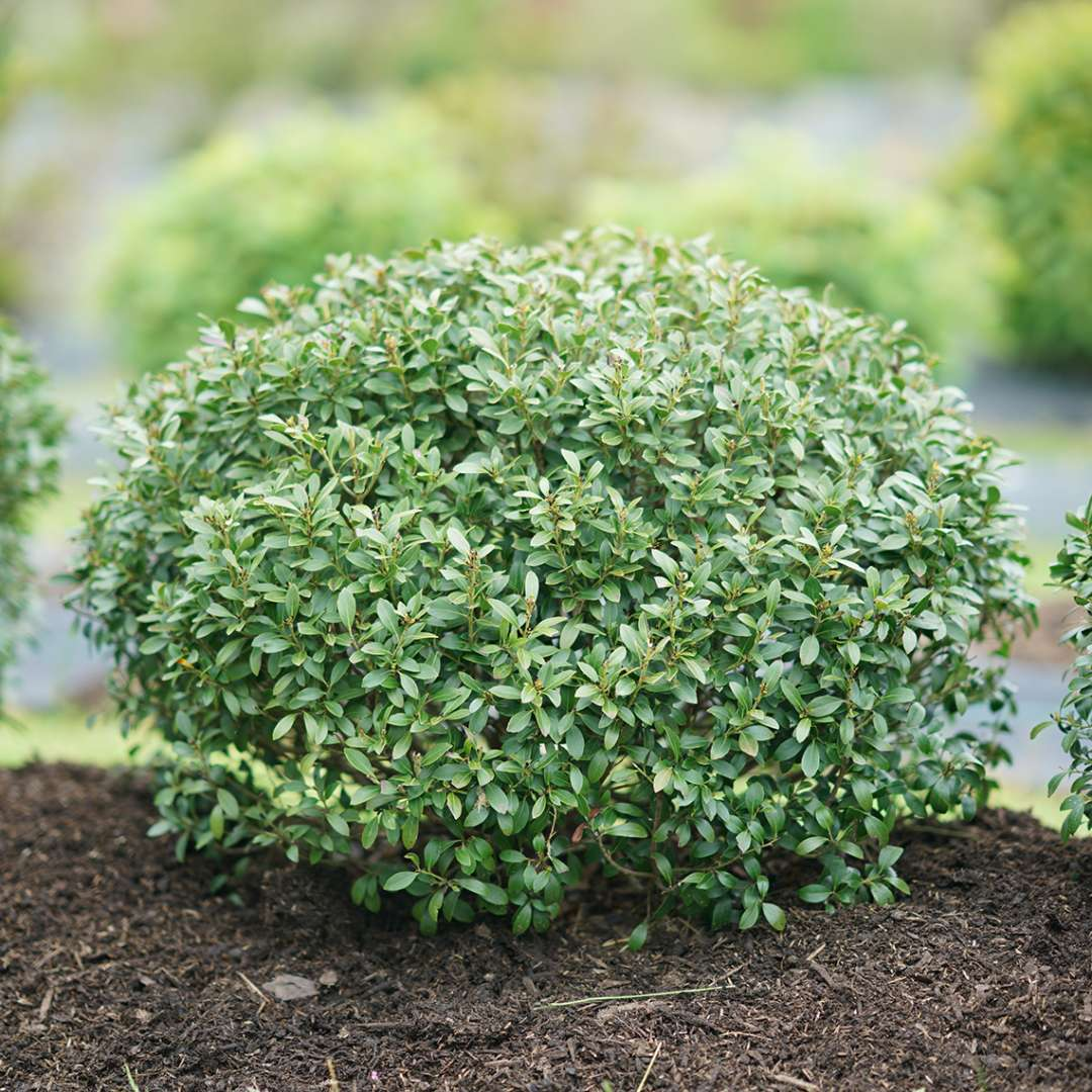 Compact globe of Strongbox Ilex glabra in field