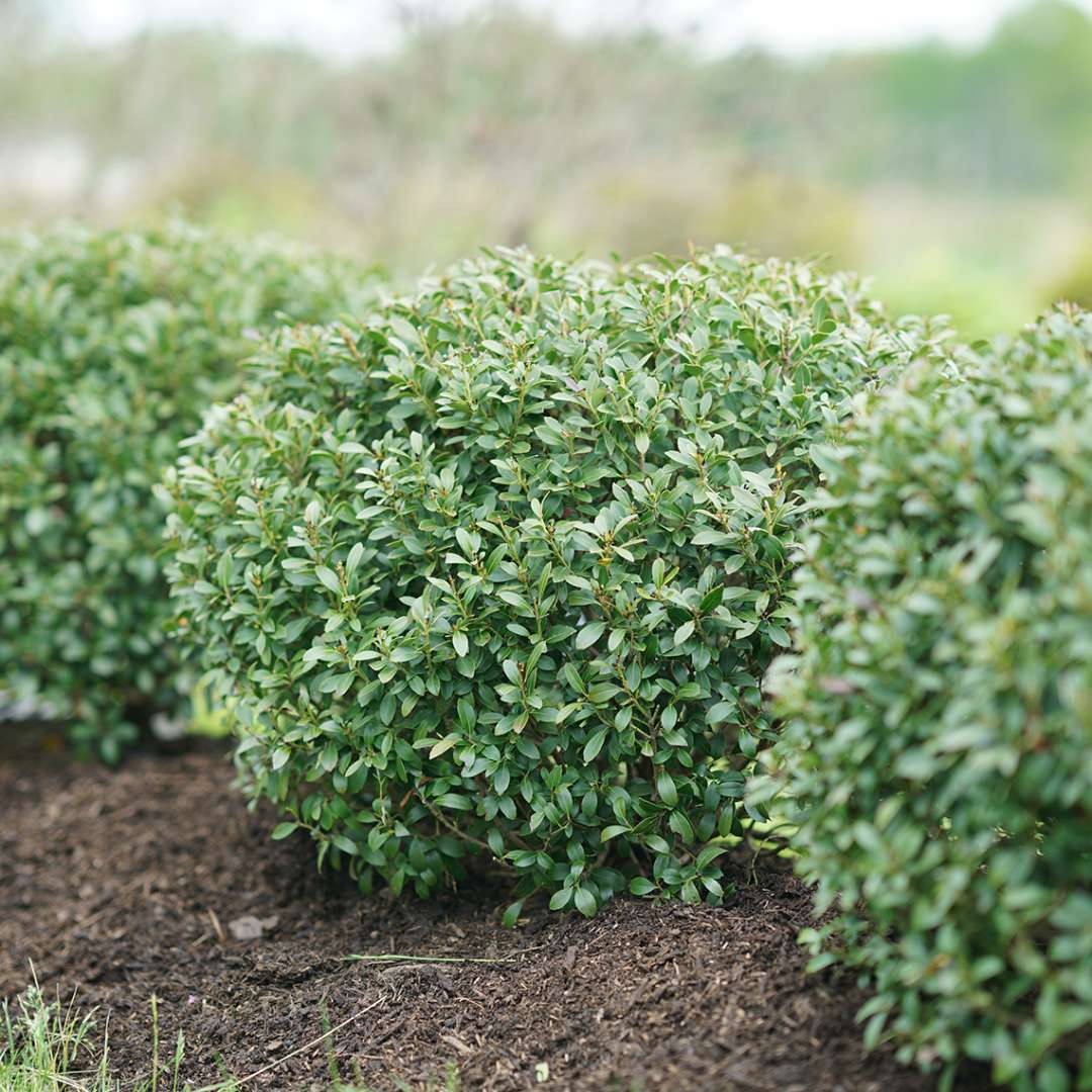 Row of rounded evergreen Strongbox Ilex glabra in field