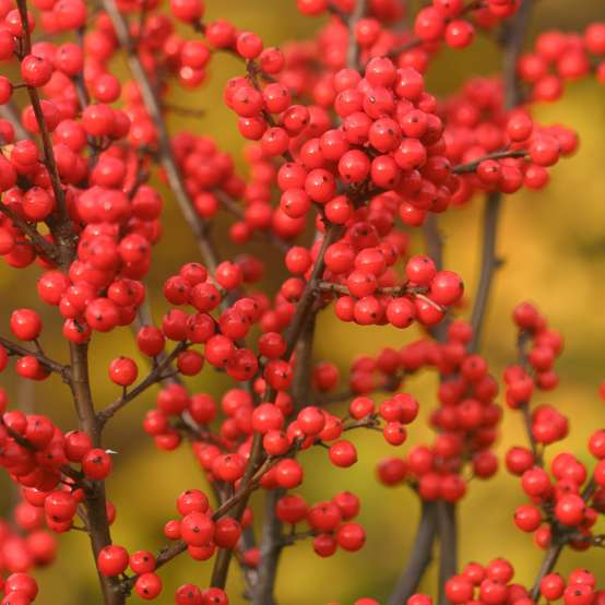 Close up of bright orange red berries on Berry Heavy winterberry holly branch