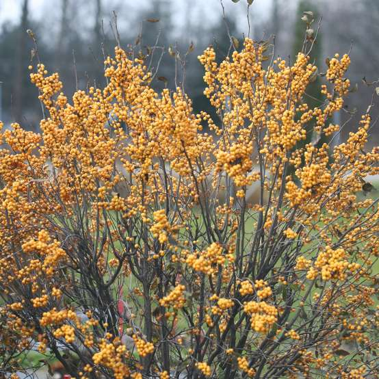 Heavy yellow fruit set on Berry Heavy Gold winterberry holly