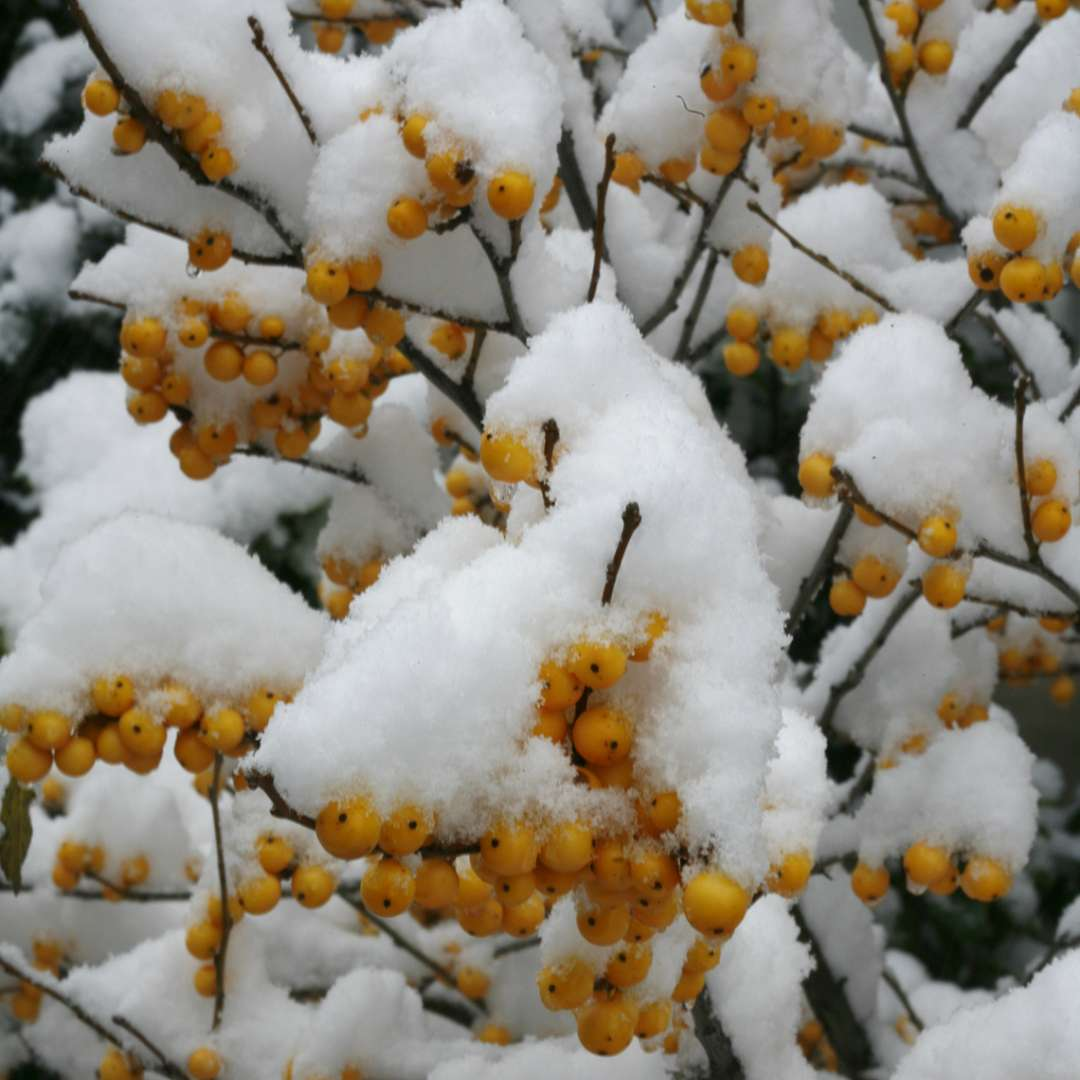 Close up of yellow Berry Heavy Gold winterberries covered in snow