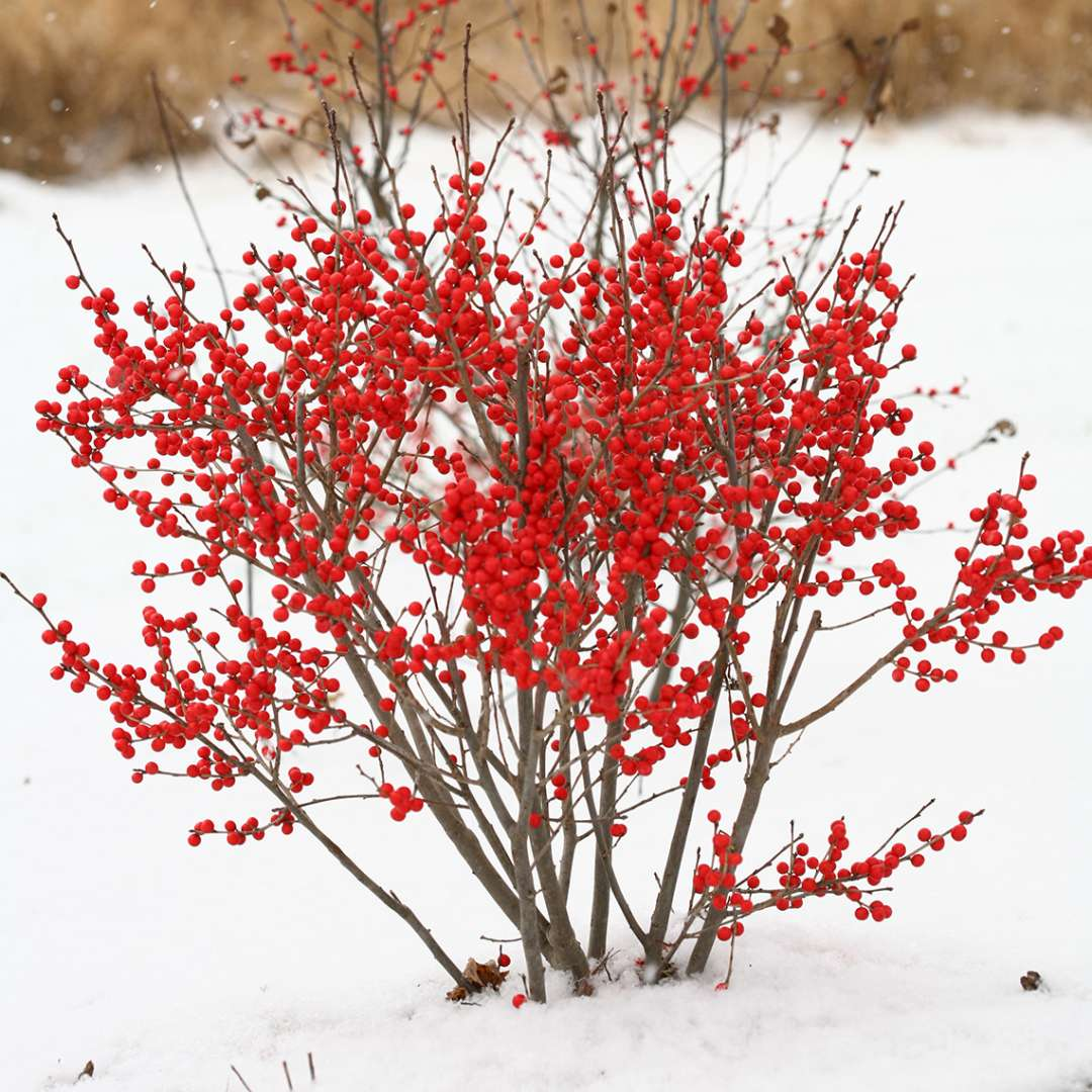 Dwarf Berry Poppins winterberry holly in snowy landscape