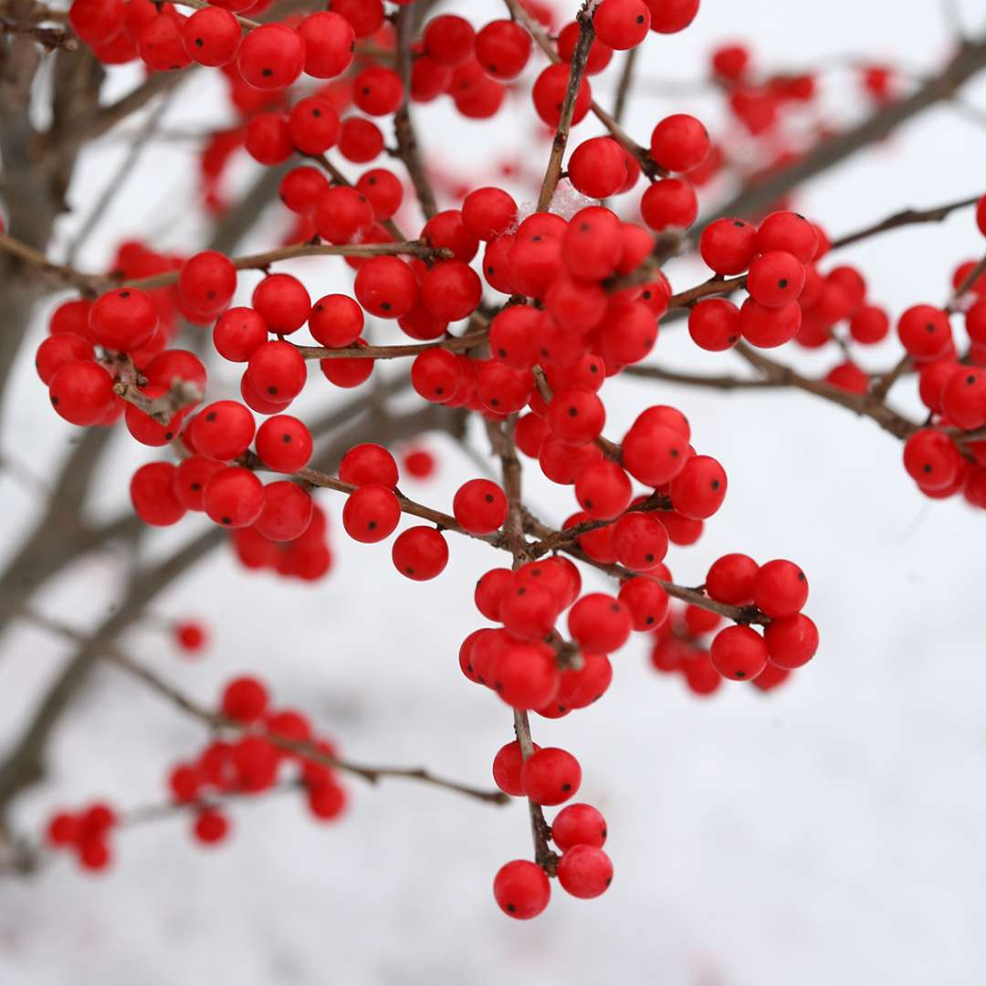 Close up of plentiful red berries on Berry Poppins winterberry holly