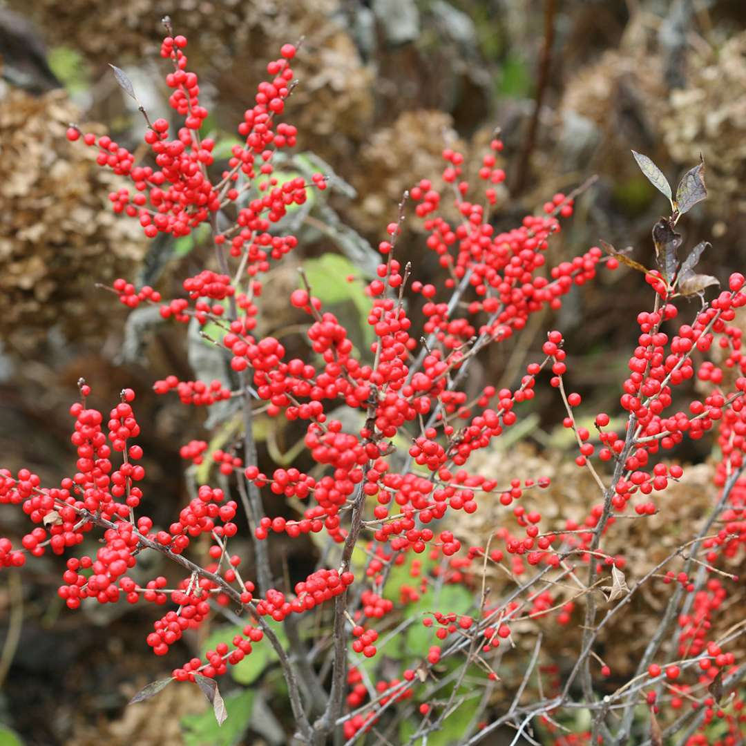 Branch of Berry Poppins winterberry laden with red fruit in fall
