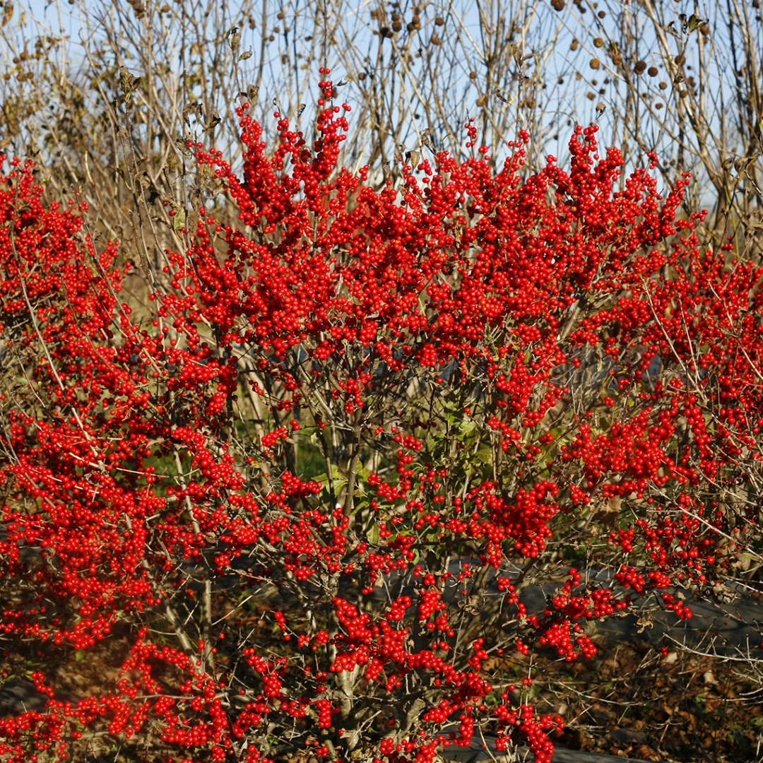 Compact Berry Poppins winterberry holly covered in red fall fruit
