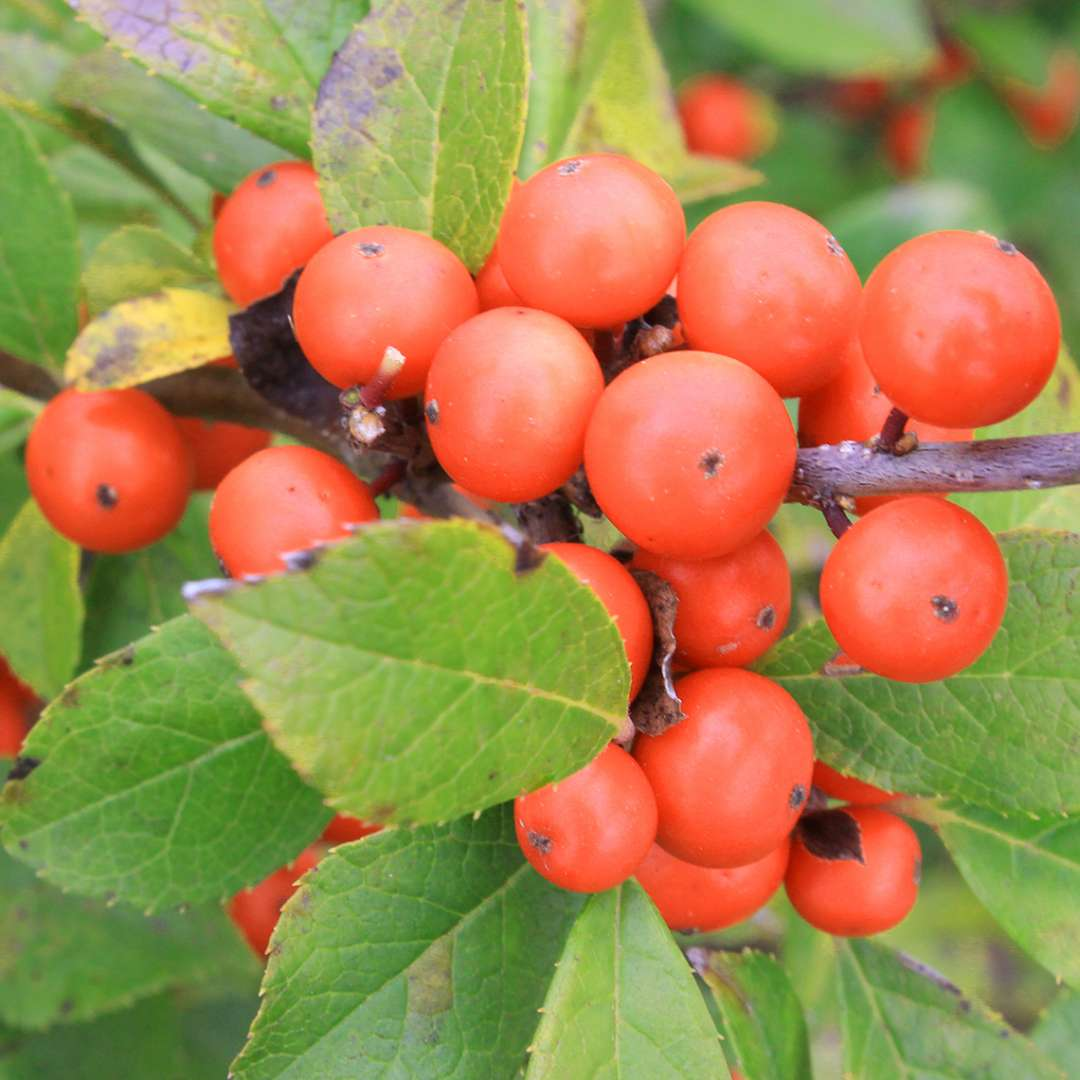 Close up of orange red Little Goblin Orange winterberry holly berries