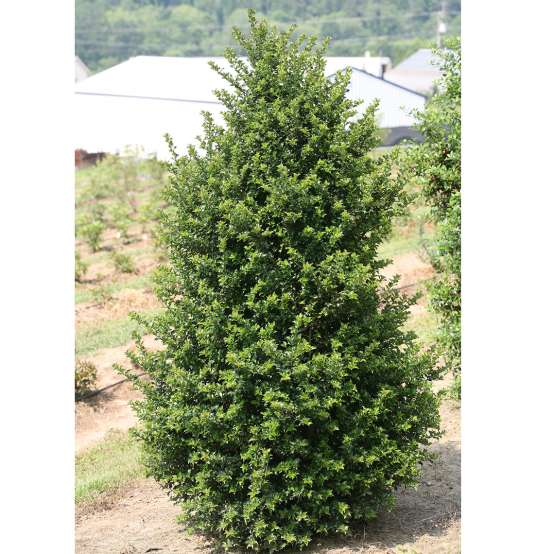 Young pyramidal Red Beauty holly hybrid in field