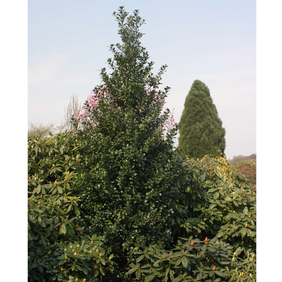 Tall and pyramidal Castle Spire blue holly in evergreen planting