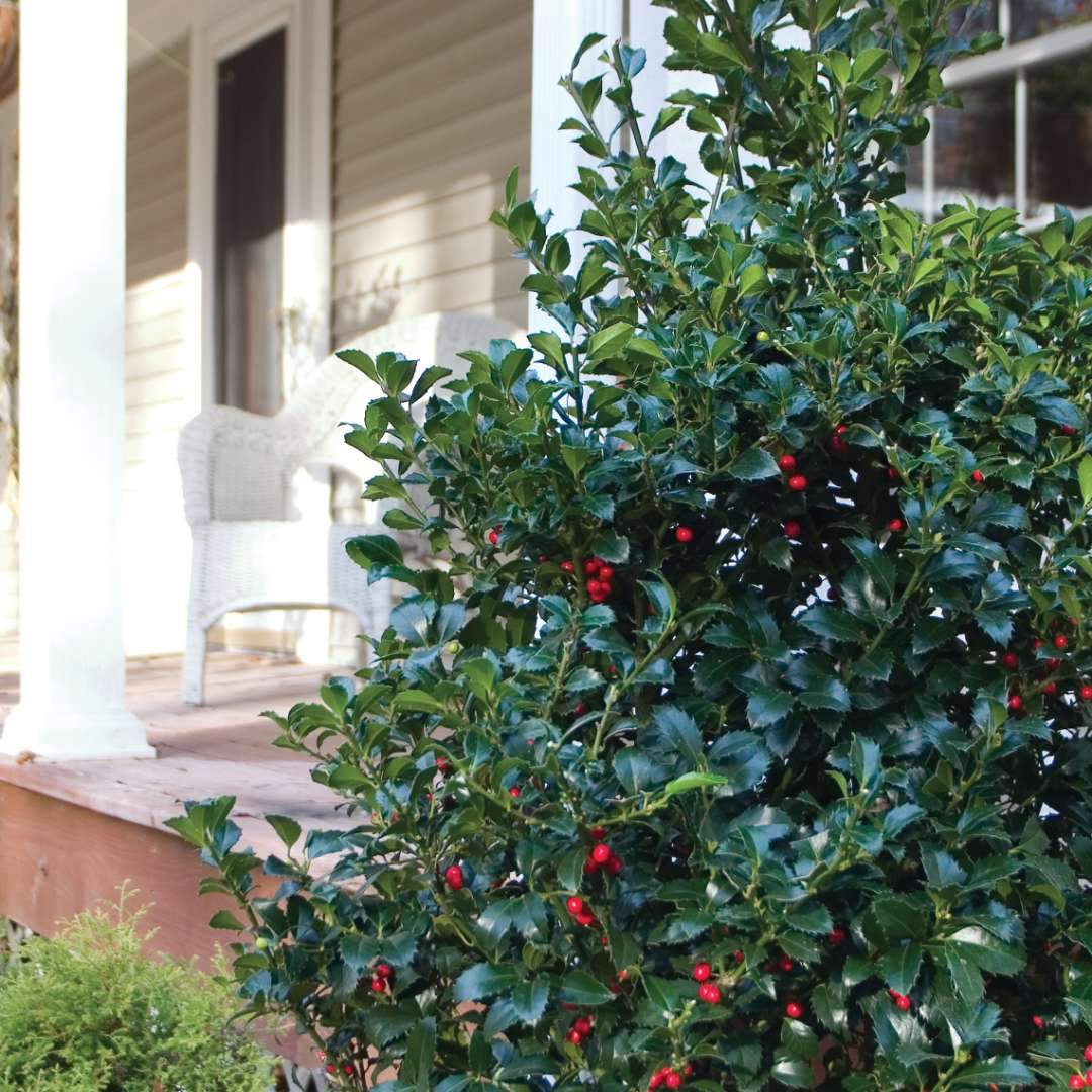 Specimen of Castle Spire blue holly planted next to residential porch