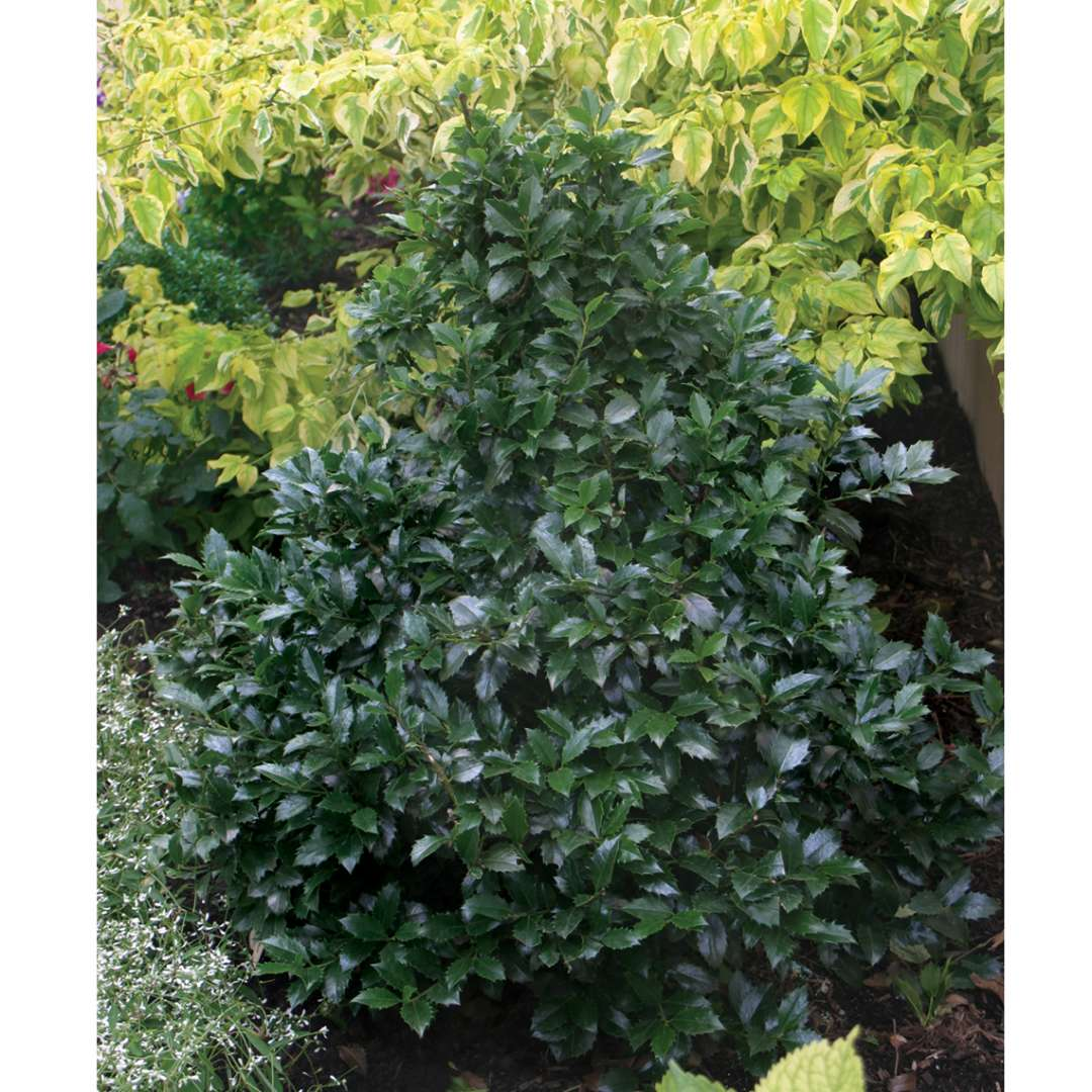 Dark leafed Castle Spire blue holly planted in front of yellow variegated tree