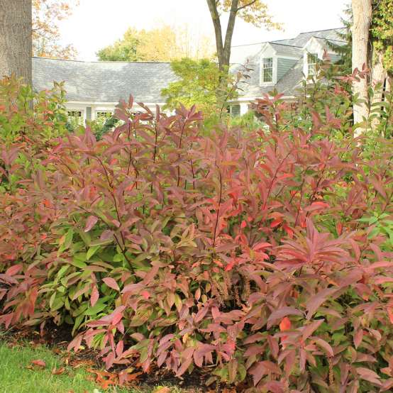 Red fall color of Itea Henry's Garnet in home landscape