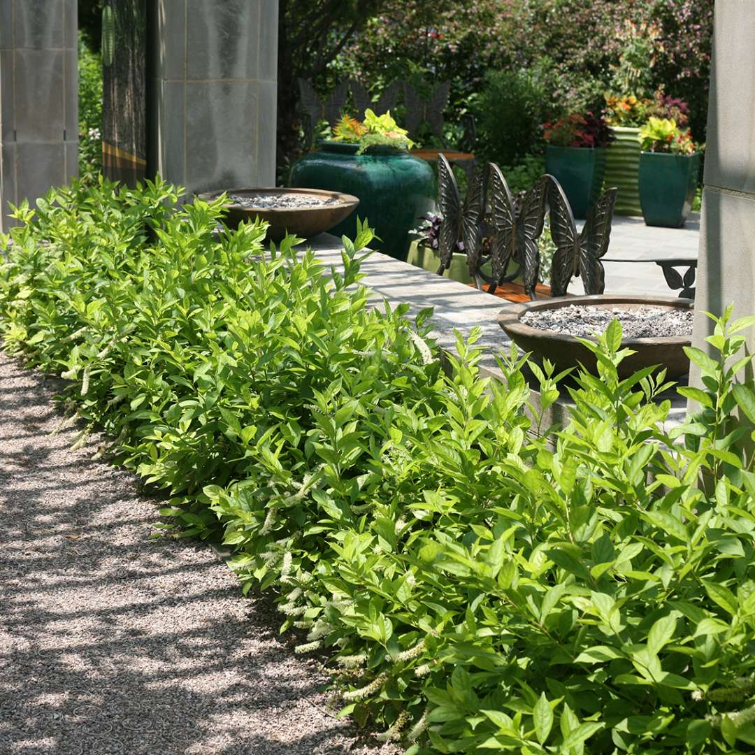 Low hedge of Little Henry Itea at along sidewalk at botanical garden