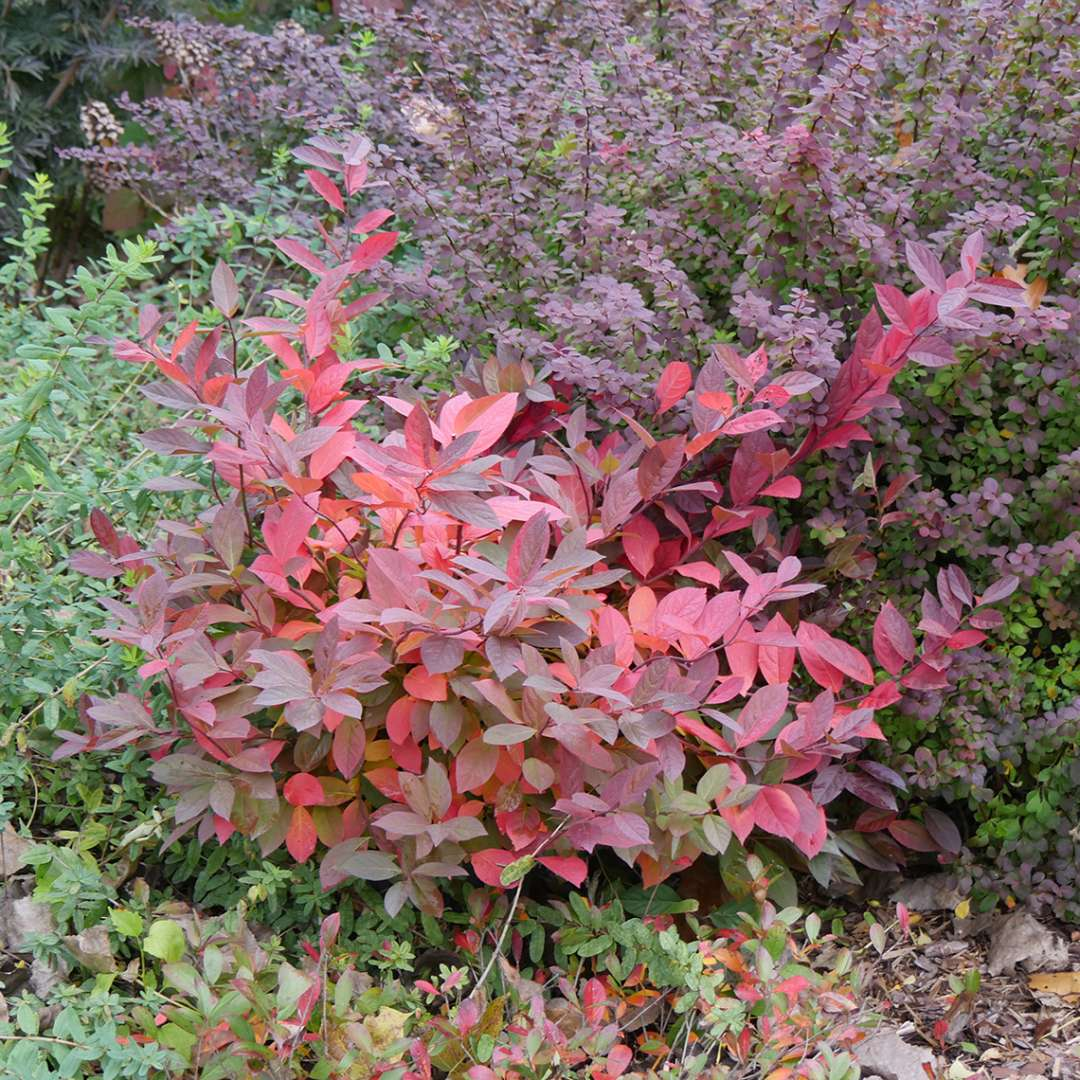 Brilliant burgundy Scentlandia Itea in fall landscape