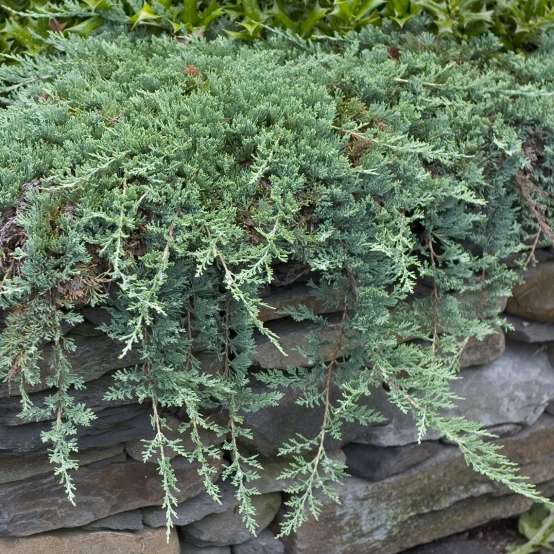 Creeping Juniperus Blue Rug hanging over stone wall