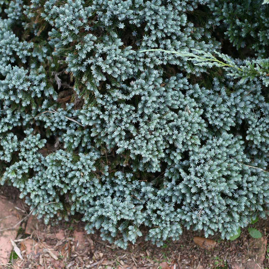 Overhead look at the heavily textured Juniperus Blue Star
