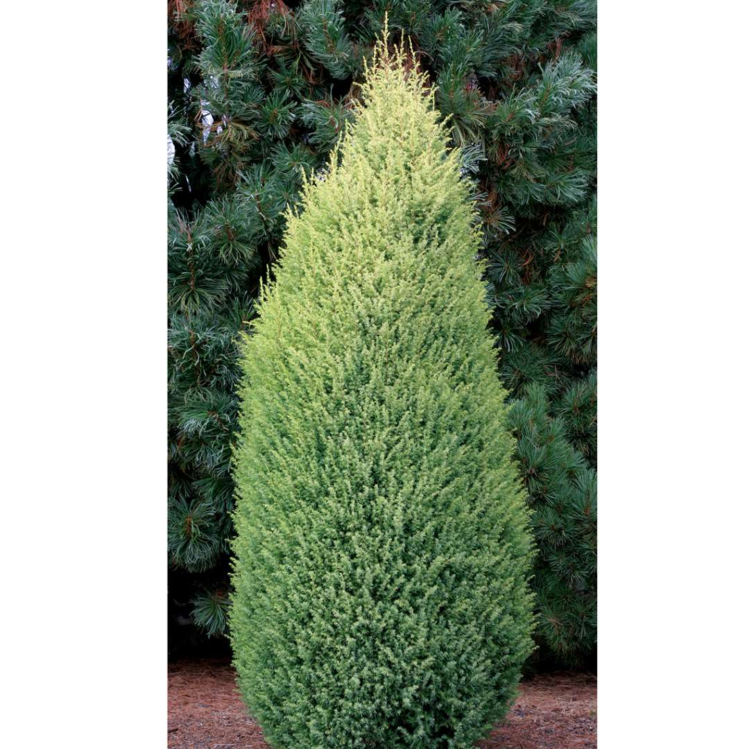 Upright and narrow Juniperus Gold Cone in landscape