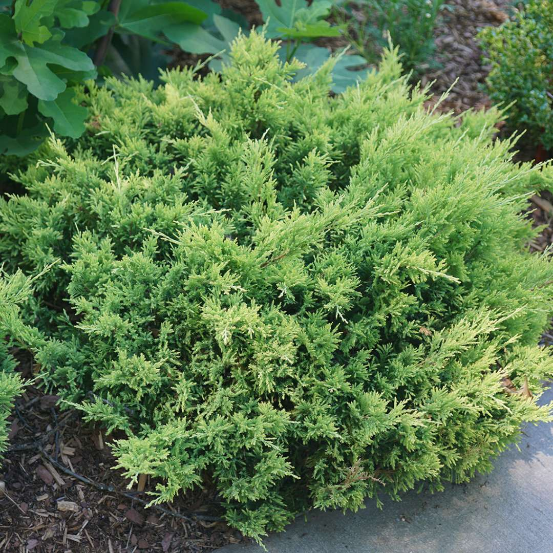 Good Vibrations Gold Juniperus' low mound of soft green evergreen foliage