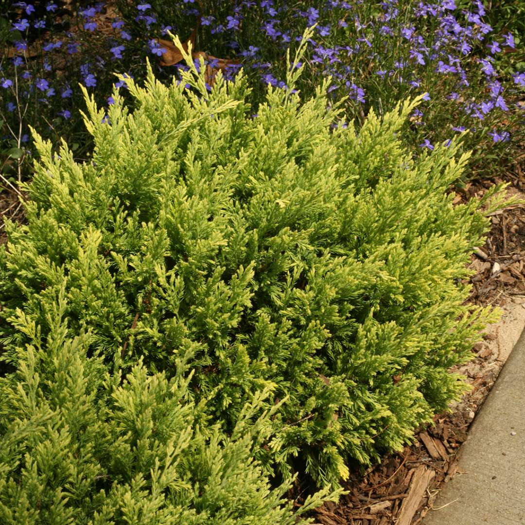 Good Vibrations Gold Juniperus in garden bed with blue flowers