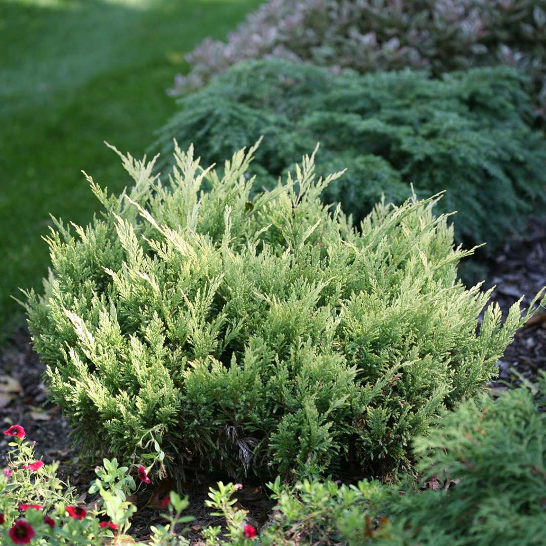 Brightly lit Good Vibrations Gold Juniperus in evergreen garden bed