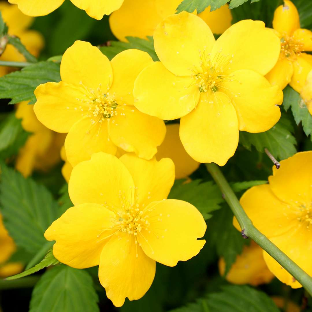 Close up of sunny single yellow flowers of Kerria Golden Guinea