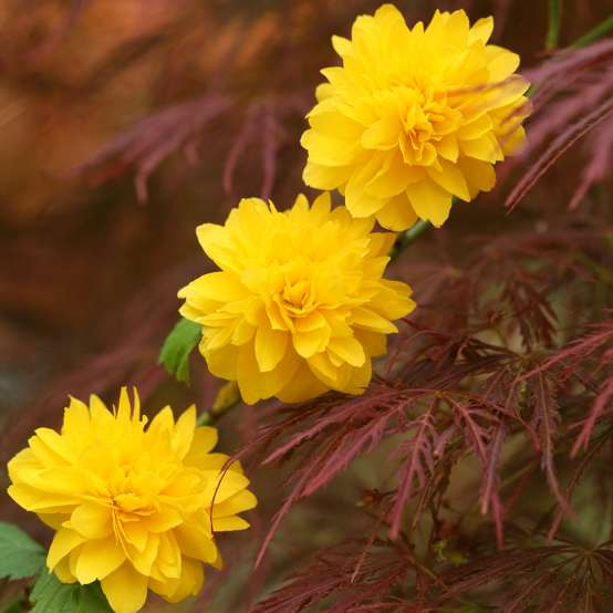 A trio of bright yellow Kerria Pleniflora flowers against maroon Japanese maple